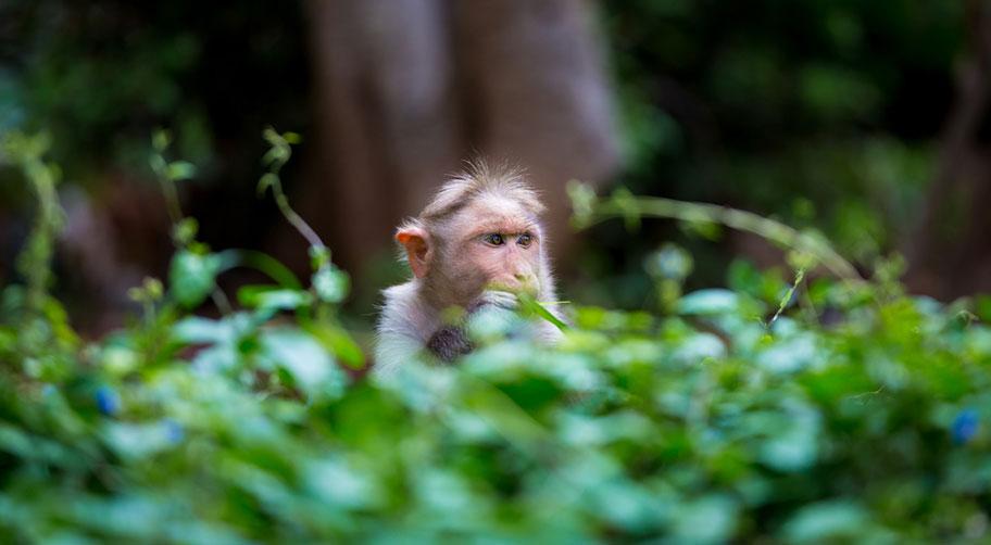 Indien Rundreise zu den Nationalparks mit Affen