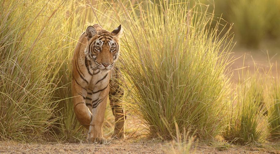 Bengalischer Tiger Nationalpark Rundreisen Indien