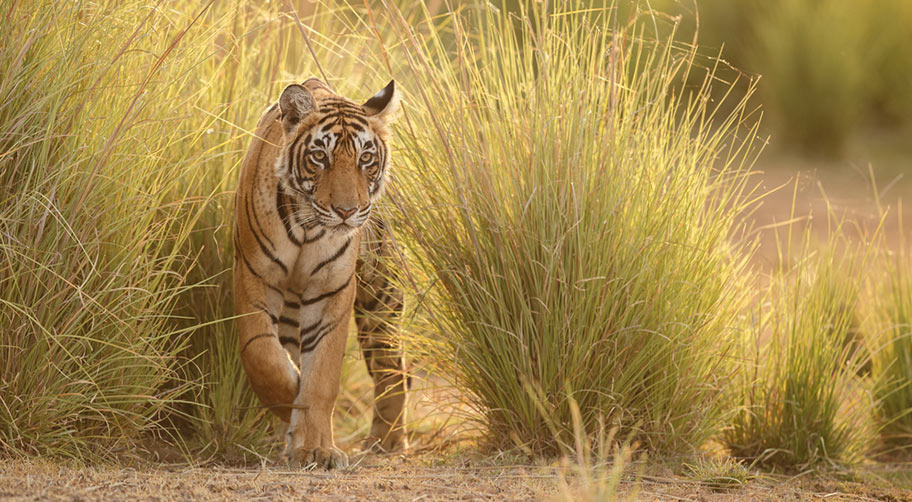 Bengalischer Tiger Nationalpark Rundreisen Indien